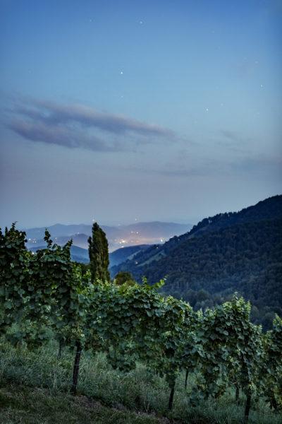 Reben in der Weinregion Südweststeiermark - Wein Steiermark