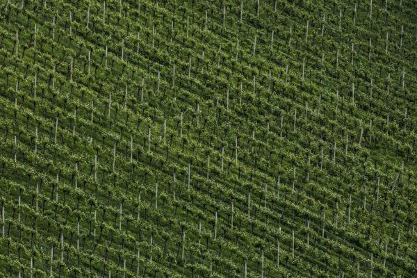 Weingärten im Ortsweingebiet der Weinregion Südsteiermark - steirischer Wein