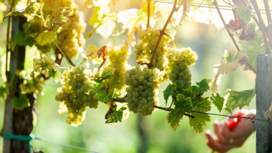 Steirische Reben werden in traditioneller Handarbeit von Winzern geerntet - Steirischer Wein