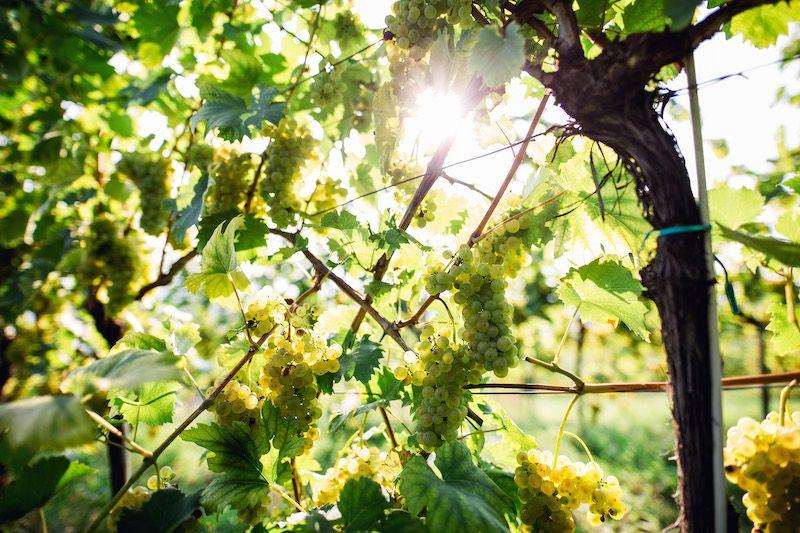Weinreben in den DAC Anbaugebieten des Weinlandes Steiermark