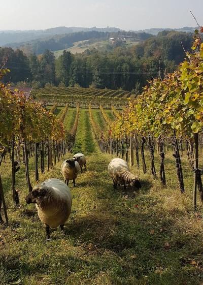 Schafprojekt im Ortsweingebiet Krenn - DAC Anbaugebiet Vulkanland - Südsteiermark