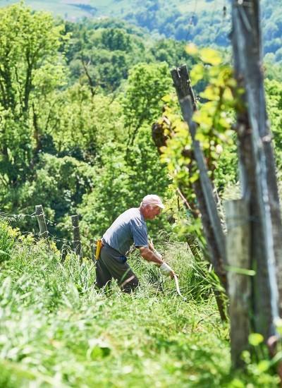 Auf den Rieden wird von Winzern mit der Sense gemäht - Steirischer Wein - Wein Steiermark