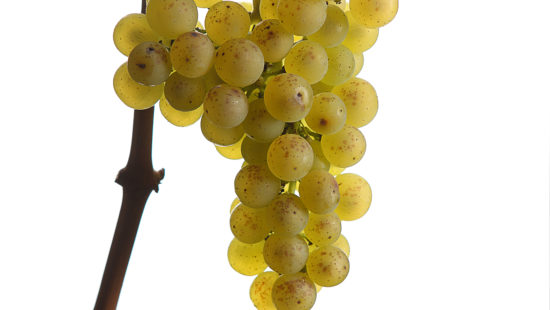 Steirischer Morillon ist eine der wichtigsten Weinsorten in der Weinregion Steiermark - Steirische Rebsorten - Wein Steiermark