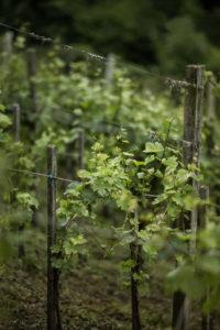 Weinreben sind typisch für die steirische Landschaft - Wein Steiermark