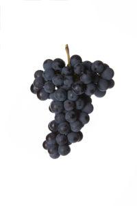 Weinrebe blauer Wildbacher Schilcher - DAC Weinsorten - Wein Steiermark