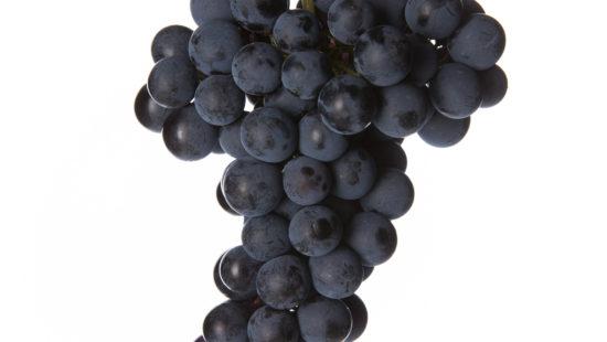 Weintraube Schilcher - Blauer Wildbacher Rebsorten Wein Steiermark