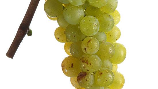 Weintraube Gelber Muskateller - Weinsorten - Wein Steiermark