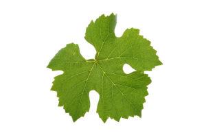 Weinblatt - Grauburgunder - Weinsorten Wein Steiermark