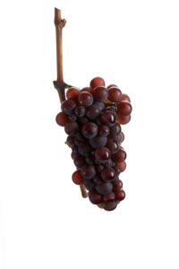 Weintraube, Traube, Weintrauben, Pinot Gris, Ruländer - Weinsorten Grauburgunder - Wein Steiermark