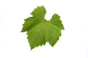 Weinblätter - Weinsorten Morillon - Wein Steiermark