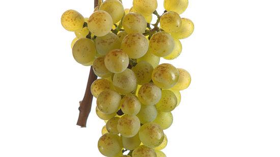 Müller Thurgau Weintraube - Steirische Weinsorten - Wein Steiermark
