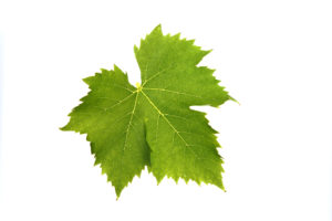 Weinblatt Gelber Muskateller - Weinsorten - Wein Steiermark