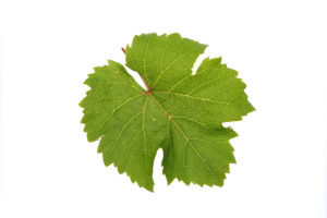 Weinblätter Riesling - Weinsorten - Wein Steiermark