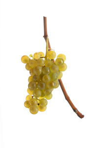 Sämling Weintraube Rebsorte Steiermark