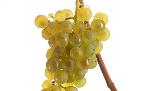 Weintraube Sämling 88 - Weinsorten Steiermark - Wein Steiermark