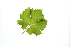 Weinblatt Sauvignon Blanc - Weinsorten - Wein Steiermark