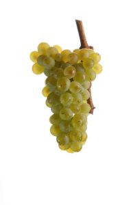 Weintrauben Sauvignon Blanc - Weinsorten - Wein Steiermark