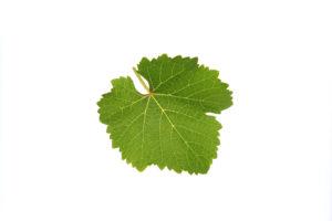 Weinblatt Traminer - Weinsorten - Wein Steiermark