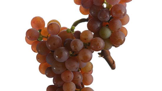 Weintrauben Traminer - Weinsorten - Wein Steiermark