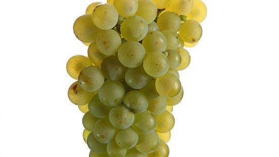 Weintrauben Weißburgunder - DAC Weinsorten - Wein Steiermark