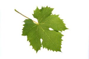 Weinblatt Welschriesling - Weinsorten - Wein Steiermark