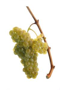 Weintraube Welschriesling - Weinsorten - Wein Steiermark