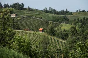 Weinhänge Steiermark überschreitet die 5.000 Hektar Marke - Rebsorte Sauvignon Blanc an der Spitze News Wein Steiermark