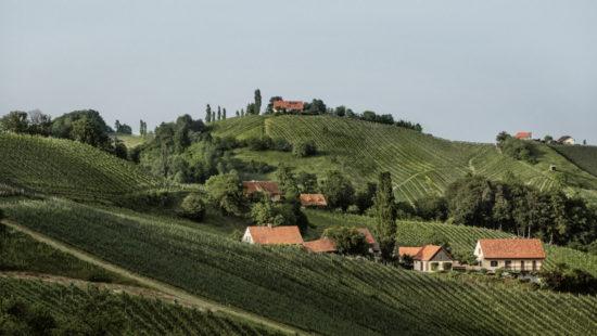 Weinberge Sauvignon Blanc : Steiermark überschreitet die 5.000 Hektar Marke - Rebsorte Sauvignon Blanc an der Spitze News Wein Steiermark